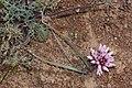 Allium robinsonii 1934.JPG