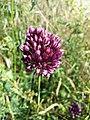 Allium rotundum sl42.jpg