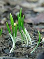 Allium ursinum seedlings1.jpg