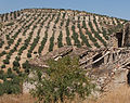Almond trees, ruined house, Andalusia, Spain.jpg