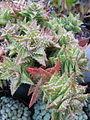 Aloe (7000251384).jpg