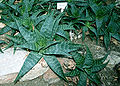 Aloe maculata Pr.jpg