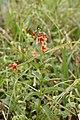 Alonsoa meridionalis (Scrophulariaceae) (44229321220).jpg