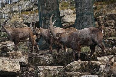 Alpensteinbock (Capra ibex) Zoo Salzburg 2014 c.jpg