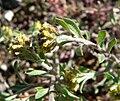 Alyssum desertorum var desertorum 2.jpg