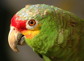 Amazona autumnalis -upper body-8a.jpg