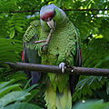 Amazona finschi -perching on branch-8-2c.jpg