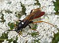 Amblyjoppa fuscipennis. Large Ichneuman Wasp - Flickr - gailhampshire (1).jpg