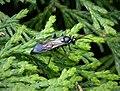 Amblyjoppa proteus. male. ? (36246287711).jpg
