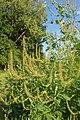 Ambrosia trifida kz05.jpg