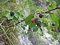Amelanchier ovalis fruits.jpg
