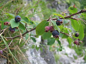 Fruits of Amelanchier ovalis Miesweg / Traunse...