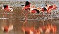 American flamingos (4228246383).jpg