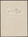 Amiurus guttatus - 1700-1880 - Print - Iconographia Zoologica - Special Collections University of Amsterdam - UBA01 IZ14600087.tif