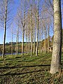 An avenue of trees by the River Tweed - geograph.org.uk - 604805.jpg