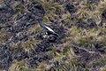 Andean Condor (Vultur gryphus) (8077565984).jpg