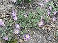 Anemone blanda 'Violet Star' (Ranunculaceae) plant.jpg