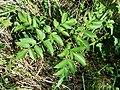 Angelica sylvestris subsp. sylvestris sl17.jpg