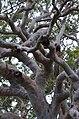 Angophora costata DSC 8133 (11815113573).jpg