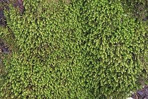 Anomodon viticulosus IMG 4898.jpg