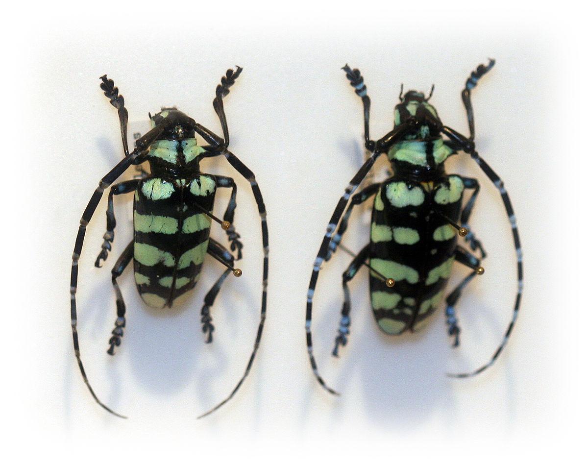 Anoplophora Elegans