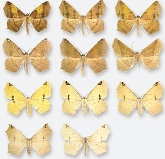 Antepione imitata - Variation in adults, upper two rows are males, bottom two are females