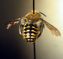 Anthidium palliventre f.jpg