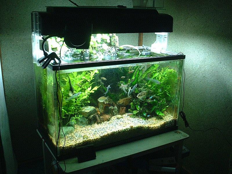 File aquarium 60cm jpg wikimedia commons for 20 gallon fish tank decoration ideas