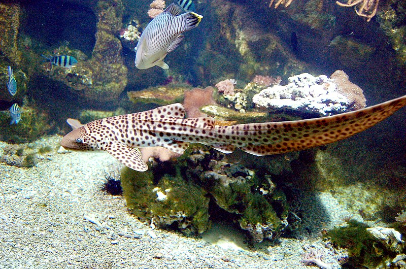File aquarium tropical du palais de la porte dor e stegostoma - Aquarium tropical de la porte doree ...