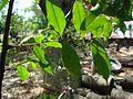 Aquilaria Agellocha 11.JPG