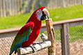 Ara chloroptera -Maryland Zoo, Baltimore, Maryland, USA-8a.jpg