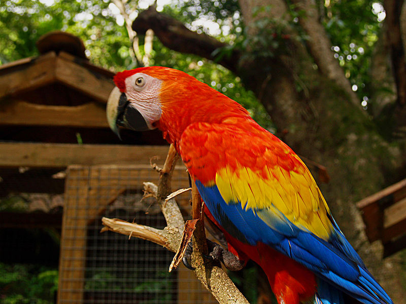 Ficheiro:Ara macao -Macaw Mountain Bird Park -8a.jpg