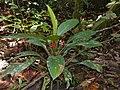 Araceae (Aglaonema nitidum) (15430689748).jpg