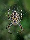 Araneus diadematus qtl1.jpg
