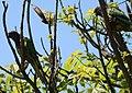 Aratinga aurea -Brazil -immature-6.jpg