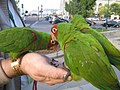Aratinga erythrogenys -city -San Francisco-8f.jpg
