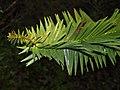 Araucaria-hunsteinii-leaf.jpg