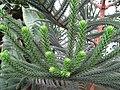 Araucaria Columnaris.Serres d'Auteuil 002.jpg