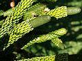 Araucaria montana 2 (Blue Maontains BG).jpg
