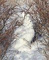 Arctic Hare (6379790463).jpg
