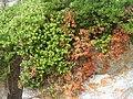 Arctostaphyllos uva-ursi (Picos).JPG