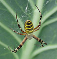 Argiope bruennichi - female on leaf.jpg