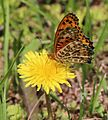 Argynnis hyperbius (male on dandelion).JPG