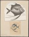 Argyreiosus vomer - 1700-1880 - Print - Iconographia Zoologica - Special Collections University of Amsterdam - UBA01 IZ13500421.tif
