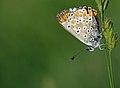 Aricia agestis 01.jpg