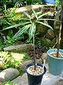 Arisaema thunbergii subsp thunbergii1.jpg