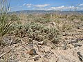 Artemisia pedatifida — Matt Lavin 002.jpg