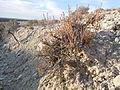 Artemisia pygmaea — Matt Lavin 001.jpg