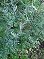 Artemisia sp.Asteraceae 01.jpg