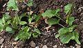Arum maculatum in Jardin Botanique de l'Aubrac 03.jpg